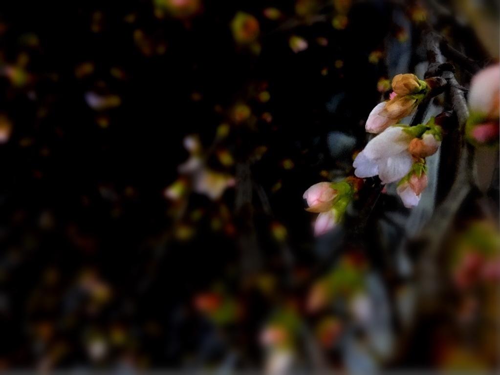 お宿のラウンジに 活ける前の 蕾の啓翁桜 薄紅色の蕾が かわいかった^^