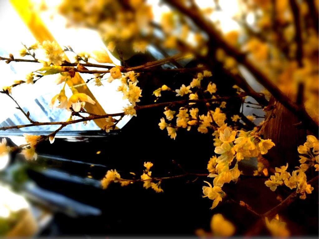 ラウンジに活けた 啓翁桜も 満開ですよ^^