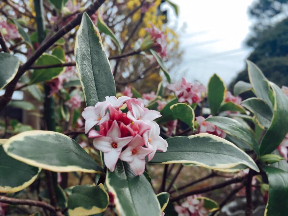 沈丁花のいい香り。祖母が好きだった花。