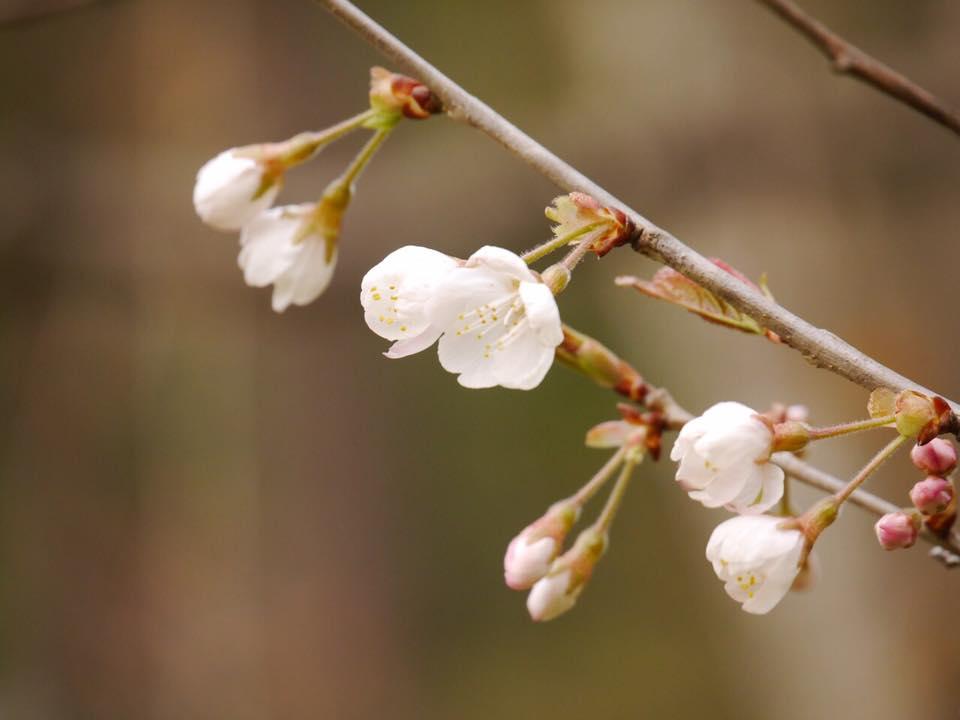 春は 巡って。ー米沢の花便り かえでさんの写真よりー