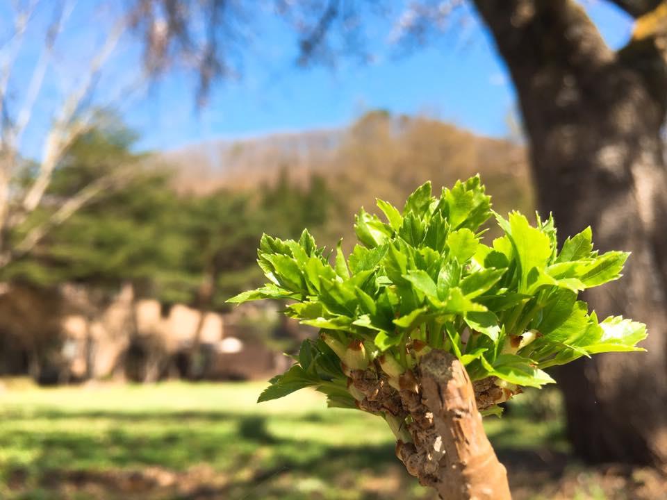 すみれガーデンの桜も咲き始めました♪ー米沢の花便り2016ー