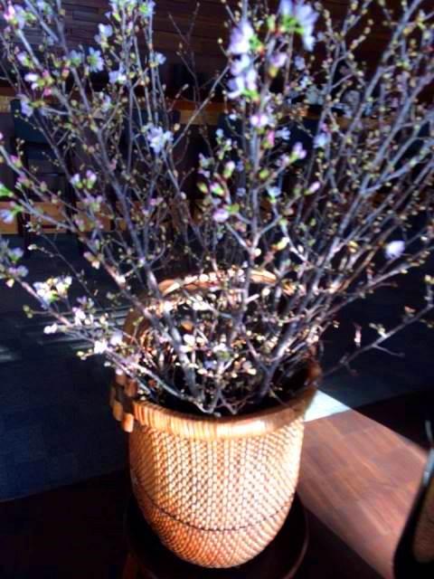 「冬の桜」啓翁桜が最盛期です♪ー冬の花は心が温まるー