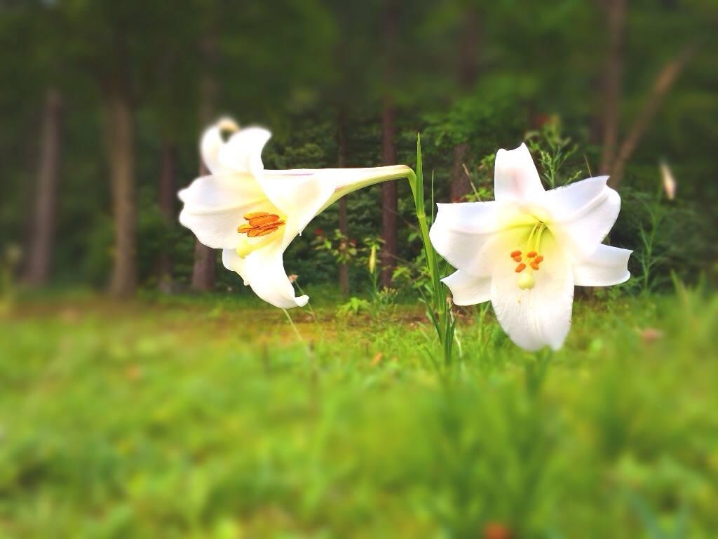 高砂ユリが咲きました~♪ーすみれガーデンよりー