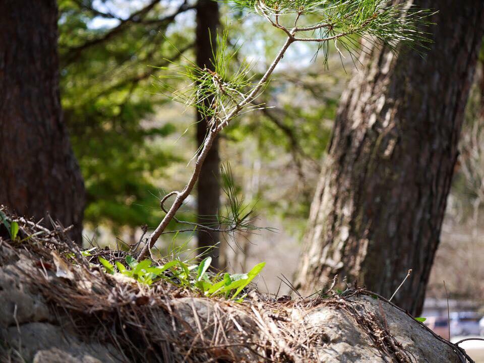 去年の4月23日の写真 岩に生えた松の木♪