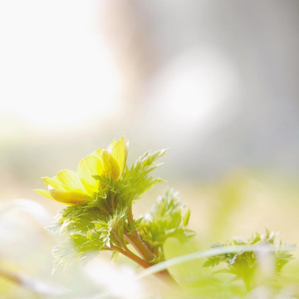 ゆっくりと 観賞してほしい すみれガーデンの福寿草♪ーかえでさんの写真よりー