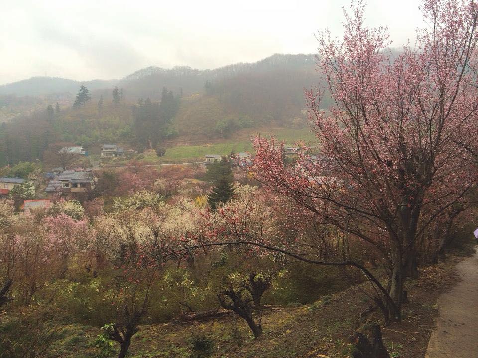 昨年4月1日の 福島 花見山の桜