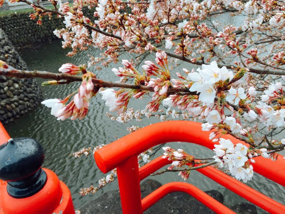 4月11日の桜と雪。そして今朝のすみれ♪ー道路は大丈夫!ー