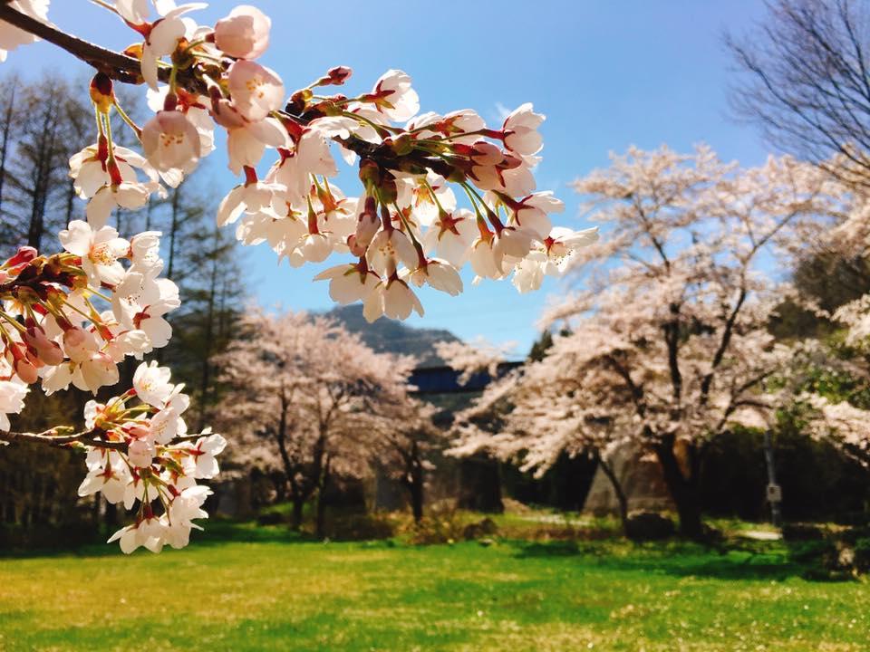 今朝のすみれガーデンの桜♪