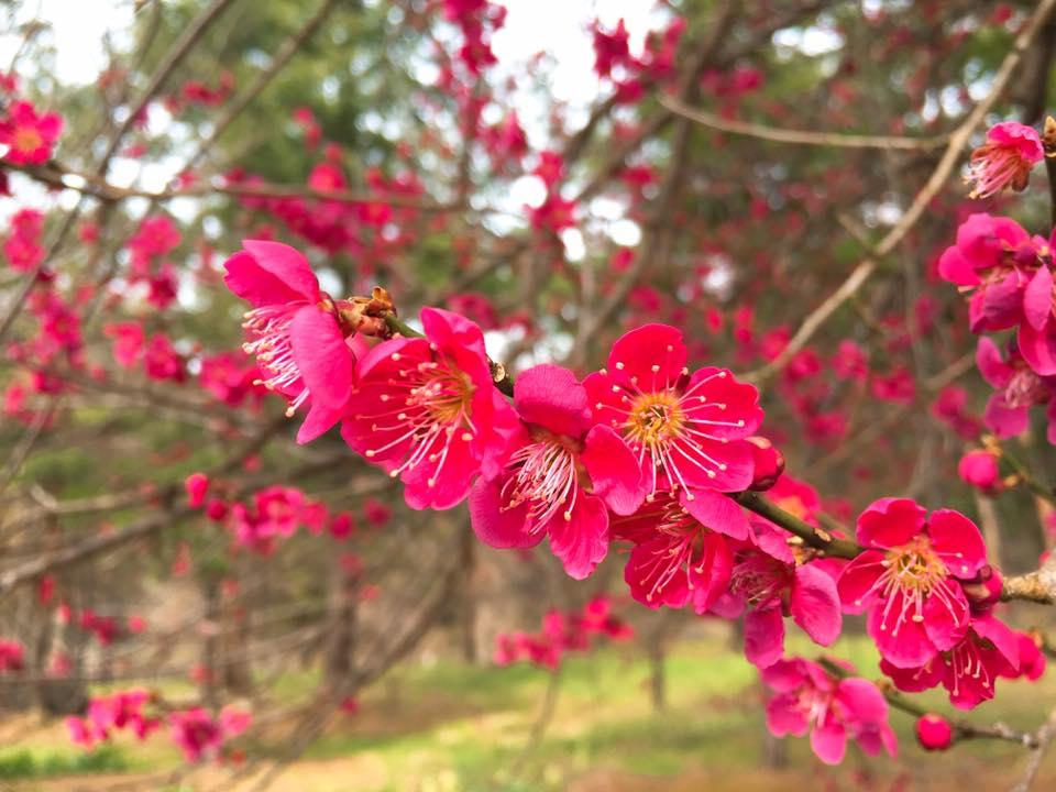 梅や山野草、桜まで咲きました!ーすみれの花便りー