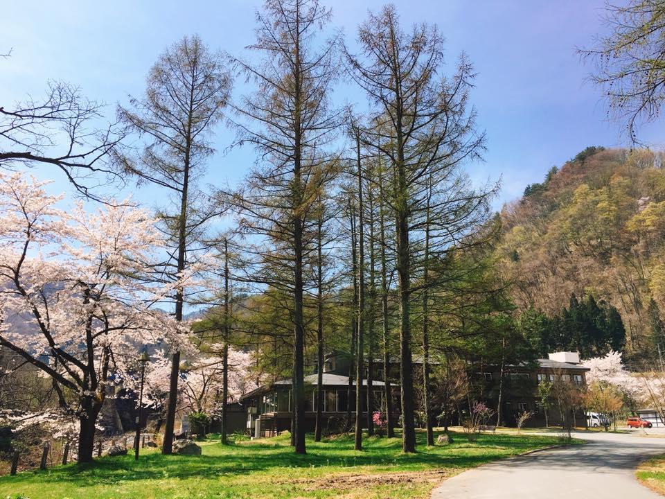 4月20日お宿の桜が満開になりました♪partⅡ-米沢の花便り2016-