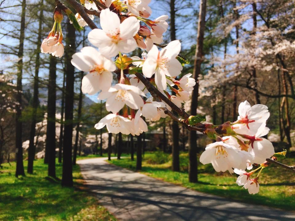 小野川温泉の「さくらまつり」は明日から♪ーお宿周辺のイベントー