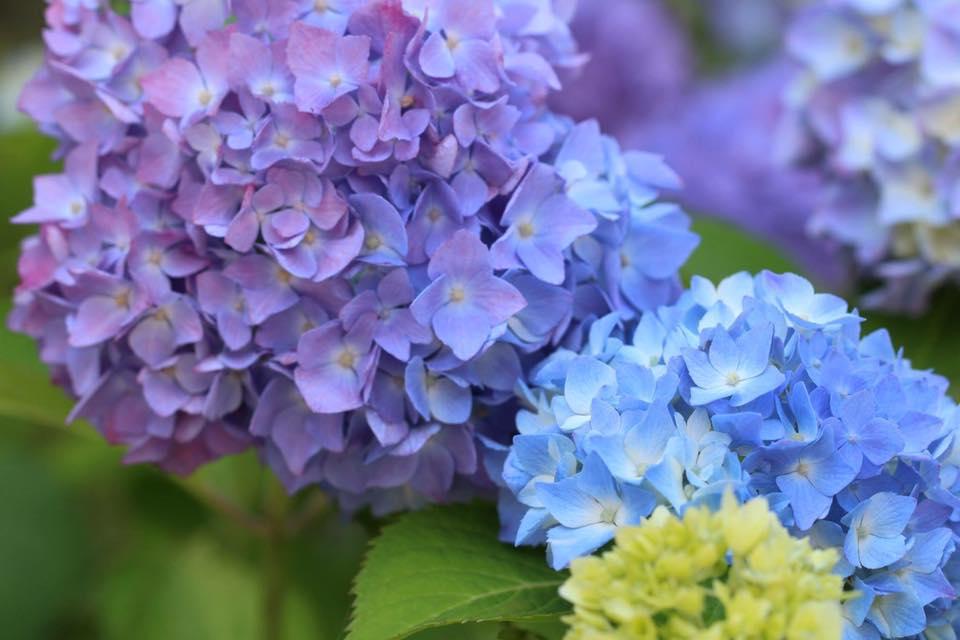 米沢の笹野観音のあじさいが咲き始めました。とってもきれい。Yさんの写真より