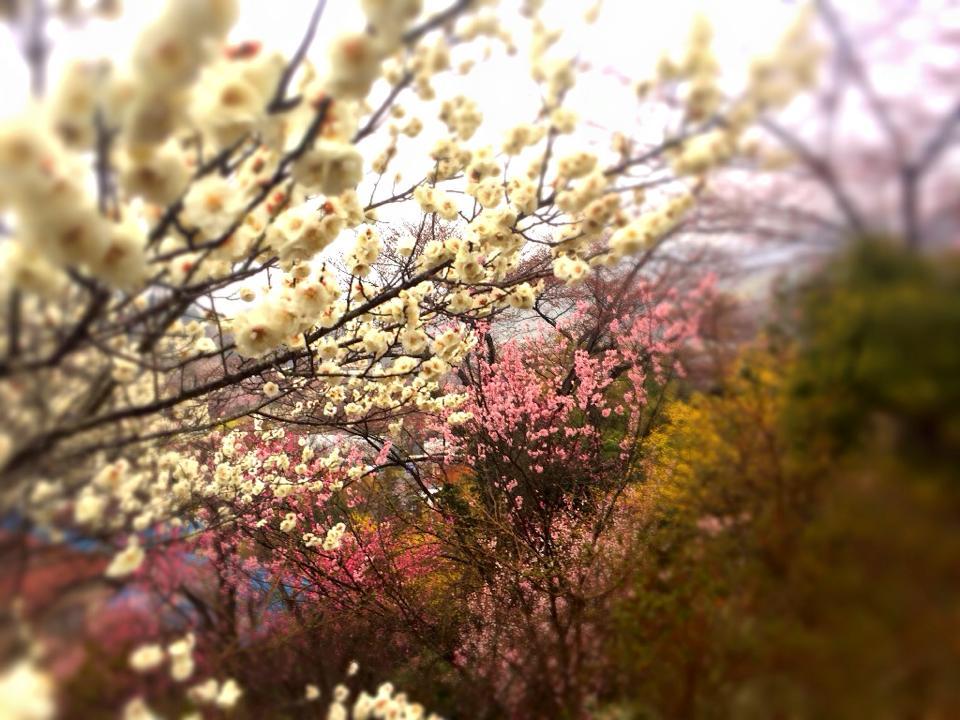 山形・米沢の桜には早いという時期でも、福島の花見山なら大満足できる!
