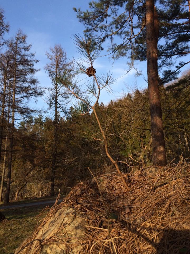 成長していた 岩に生えた松の木