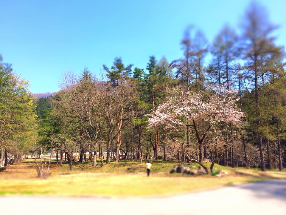 すみれガーデンの桜が咲きました♪ー米沢の春ー
