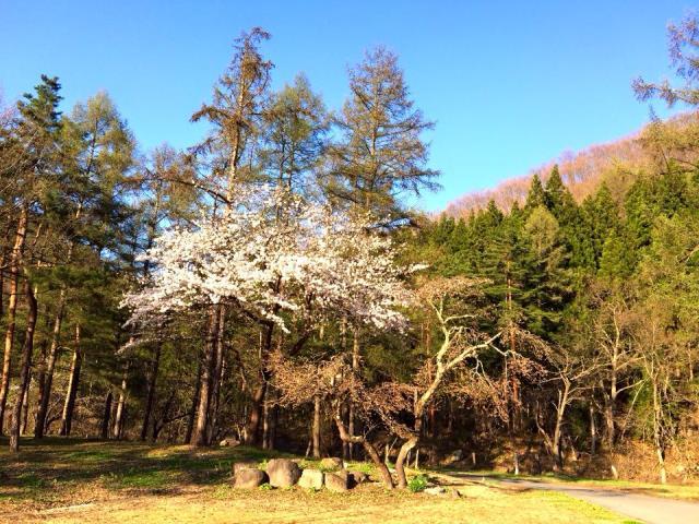 今日4月25日の桜
