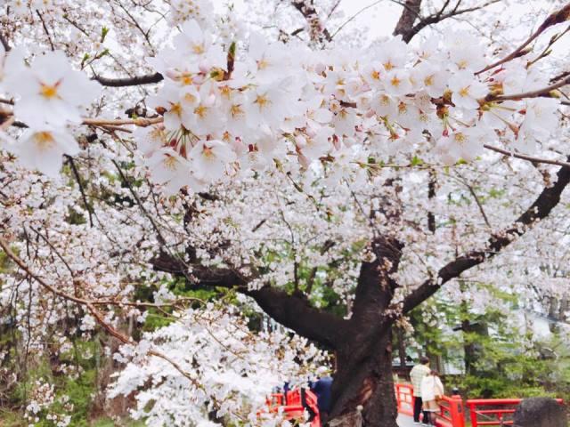 上杉神社・松が岬公園の桜が満開です!ー山形・米沢のお花見2016ー