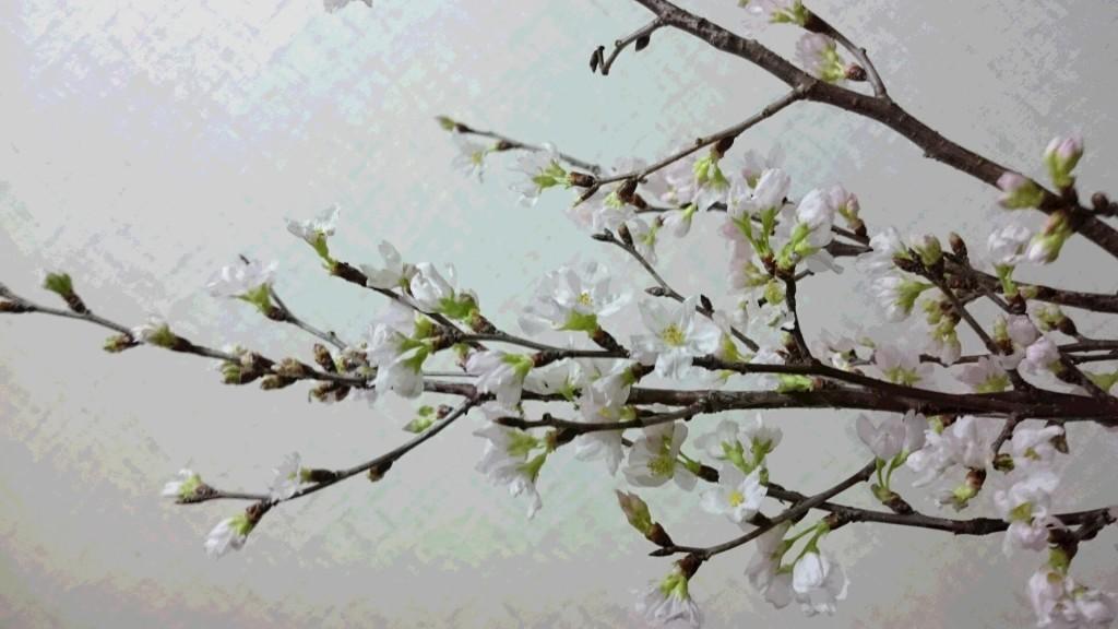 メールに添付されていた 啓翁桜の写真 撮ってくださっているHさんのお顏まで 浮かんできます^^