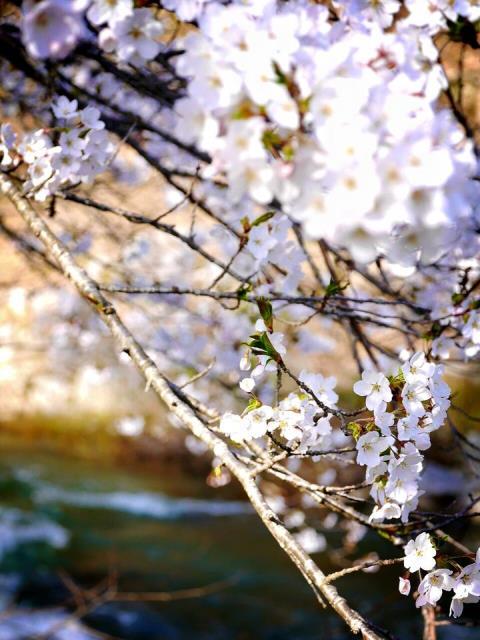 すみれガーデンの桜が満開?!ー米沢の春ー