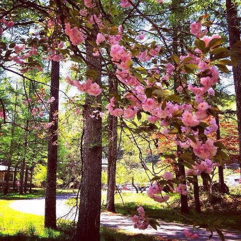 ふわふわな八重桜と爽やかな5月の風に心癒されて。
