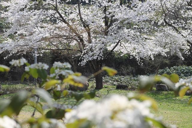 南側のすみれガーデンの桜も満開