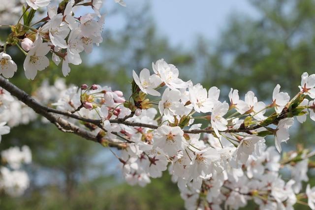 夏のような日差しを浴びる桜(笑)