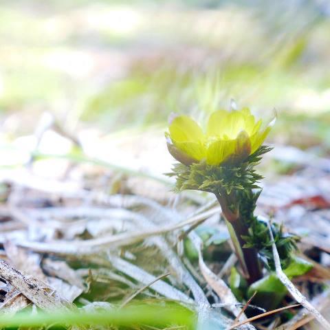 幸せの黄色い花。福寿草をみつけて♪ーかえでさんの写真よりー