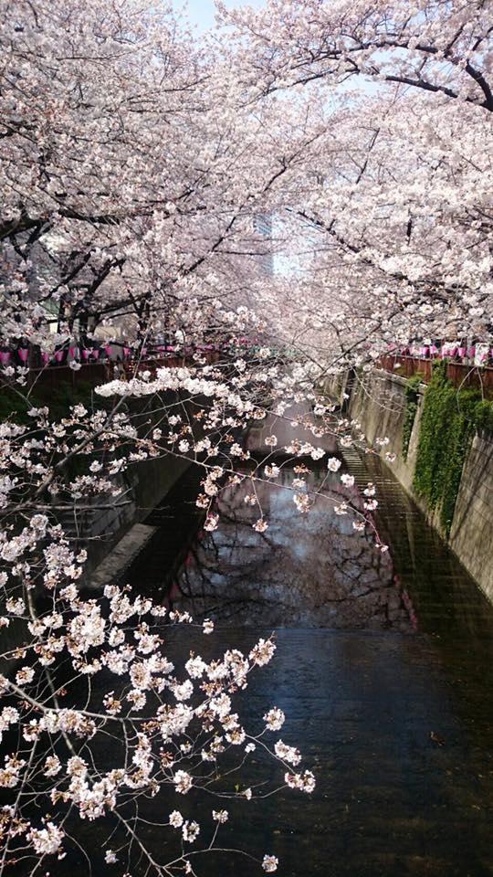 目黒川「中目黒の桜」ー思い出の場所ー