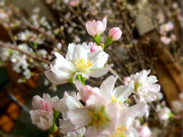 啓翁桜が 咲きましたよ♪ー冬の桜 2016ー
