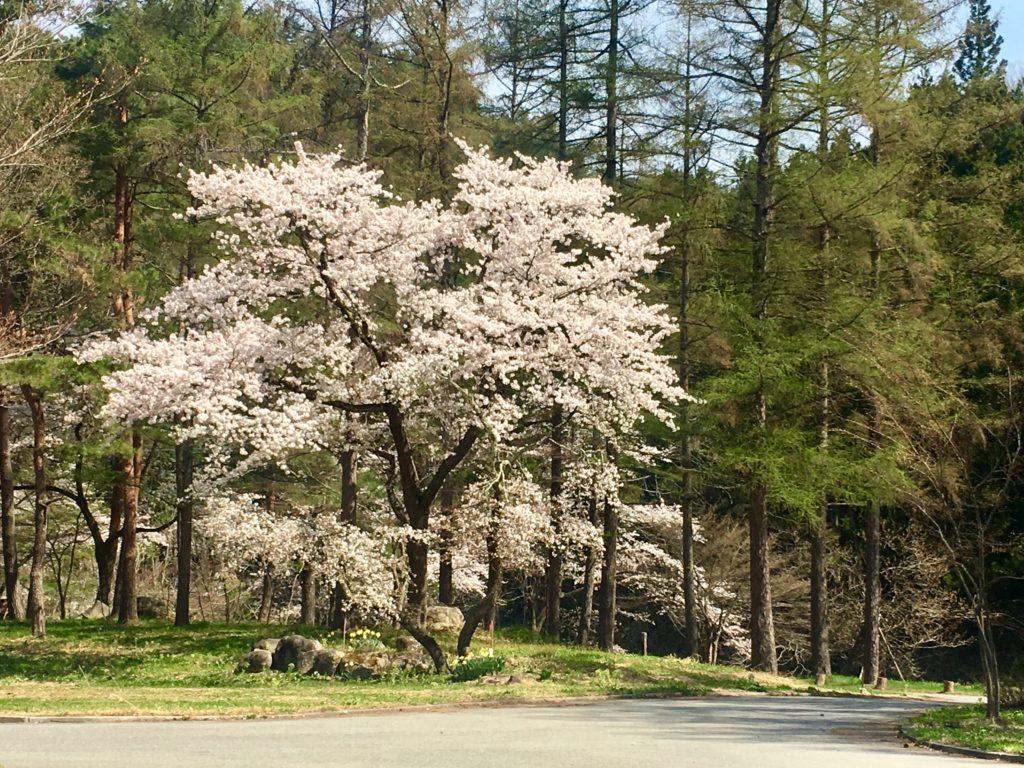 すみれガーデンの桜が見頃になりました!!ー時の宿すみれの桜2018ー