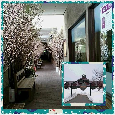 高畠ワイナリーの啓翁桜回廊♪お客様の写真