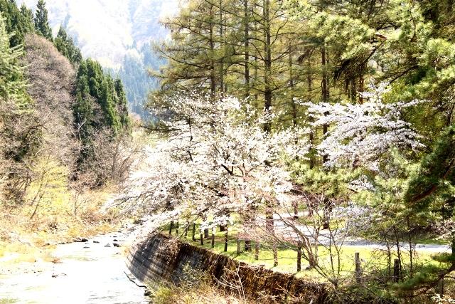 すみれの周辺も桜の開花が楽しみです