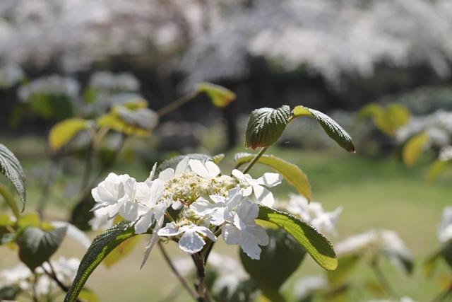 むしかりの花