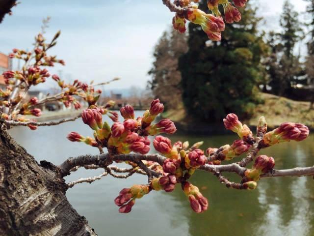 松が岬公園のお堀沿いの桜がもうすぐ咲きそう♪