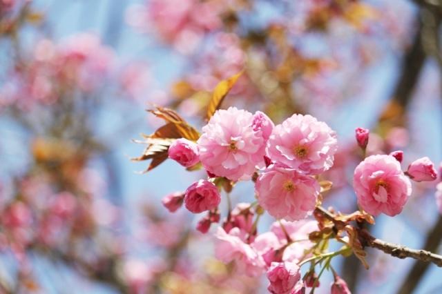 時の宿すみれの八重桜咲き始め♪