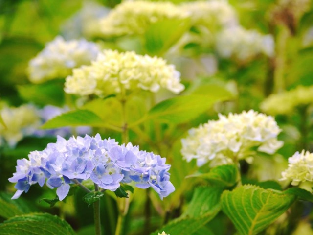 すみれガーデンに 紫陽花が咲いたよ♪ーかえでさんの写真よりー
