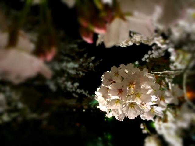 満開の桜♪上杉神社はお昼も夜も花見におすすめです☆